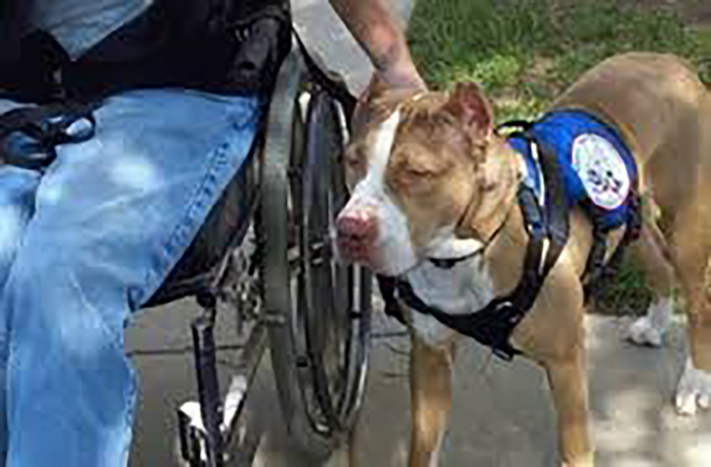 Service animal training an emotional support animal works to improve the health of his owner who is disabled and the therapy animal works with his owner to improve the health xflitez Images